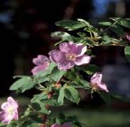 rosehip 4 2
